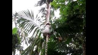 February 2013 Betel Nut Failed, Filipina Quezon Palawan