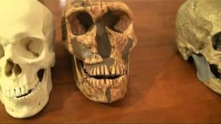 Comparison of Neanderthal, Cro-Magnon and Modern Human Skulls