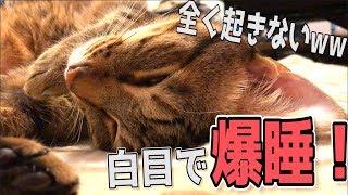 飼い主になにをされても絶対に起きず白目剥いて爆睡する猫www