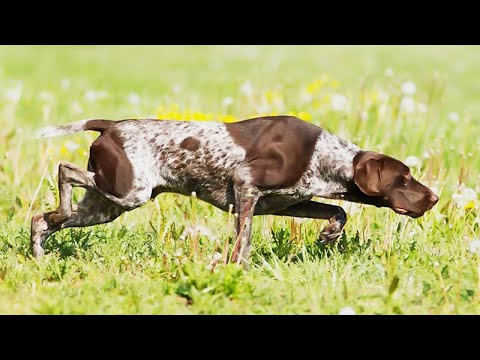 German ShortHaired Pointer - Hunting Dog