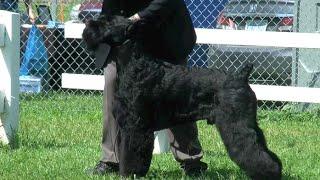 Giant Schnauzer Dog Show Specialty