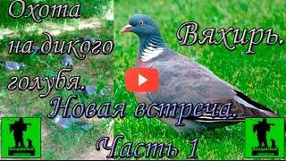 Охота на дикого голубя - вяхиря в 2016 г.  Новая встреча.  Часть 1.(, 2016-08-22T11:46:01.000Z)