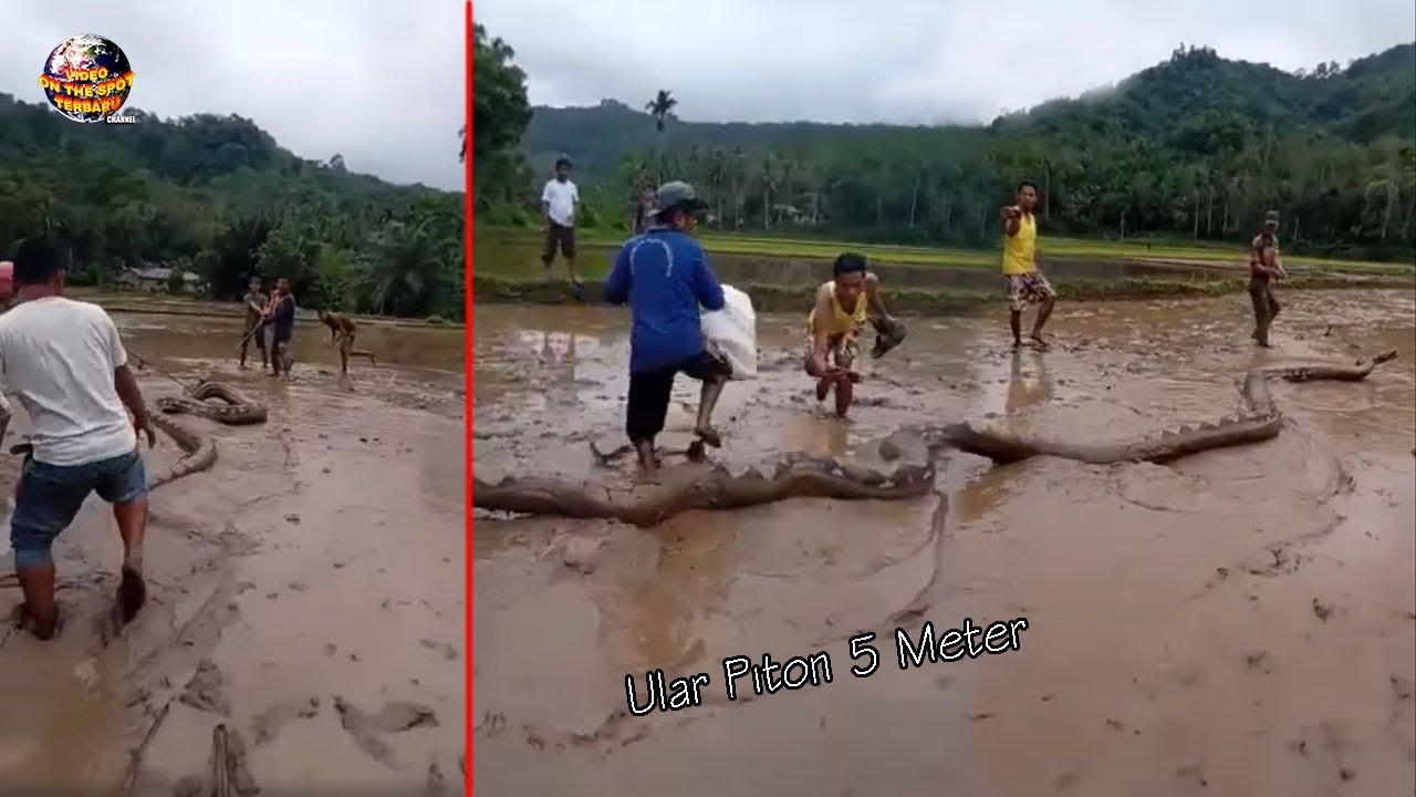 Ular Piton 5 Meter Ditangkap Warga Beramai-ramai di Sawah // Kejadian² Hewan Buas Masuk Pemukiman