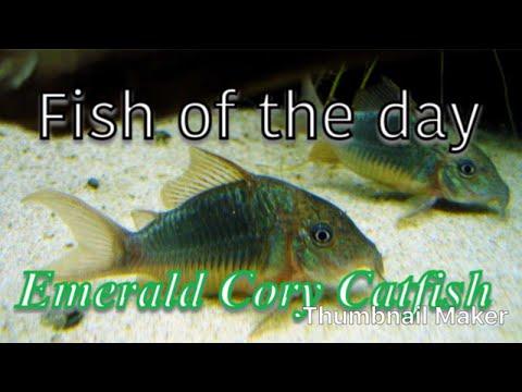Fish Of The Day | Emerald Cory Catfish
