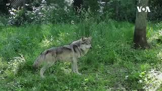 美国部分狼种的保护尚未成功