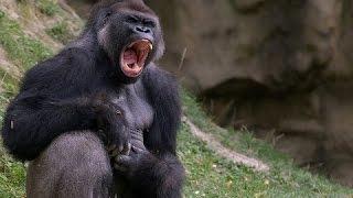 Правдивая история о жизни человека с гориллами! до...