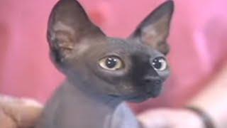 Sphynx Cats | Ideal Companion