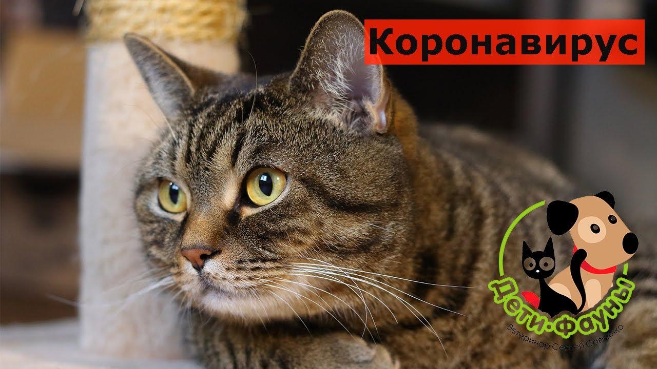 Коронавирус, частые вопросы по теме. Болеют ли кошки и ...