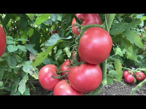 ЛУЧШИЕ ГИБРИДЫ ТОМАТОВ! Самый урожайный Томат Пинк Мани F1 (Pink Money F1)