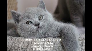 Голубой британский котик  Xeij (Шейх).