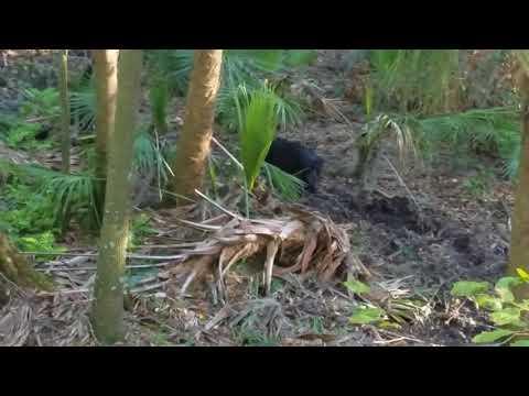 Central Florida Public Land WMA Deer And Hog Hunting