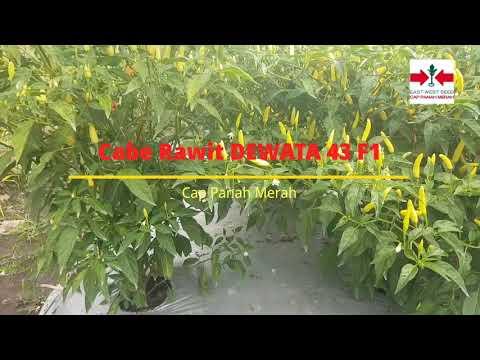 Cabe Rawit Unggul Dewata 43 F1 Dari Cap Panah Merah