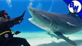 Tiger Shark Face-off!