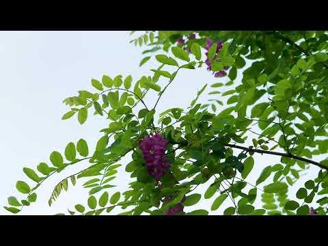 Robinie Casque Rouge, ein kleiner Baum für Vorgärten - und für die Bienen