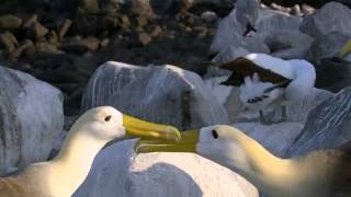 reunion of albatross