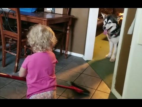 Cute Baby Sweeps Malamute Hair That's Still Attached......lol