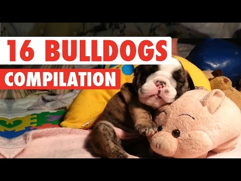 16 Funny Bulldogs Video Compilation 2016