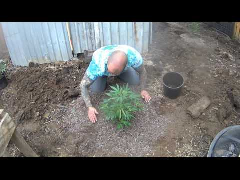 Growing Cannabis Outdoor Day #1 (OG Kush, Lemon Kush, Chernobyl, Blueberry Kush, Obama)