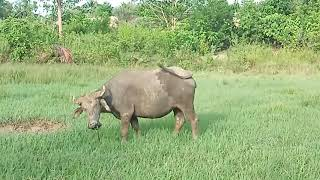 Carabao In The Field