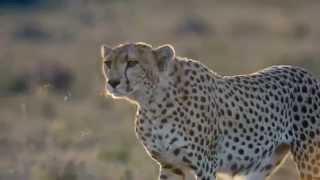 Гепард охотиться (замедленная съёмка)