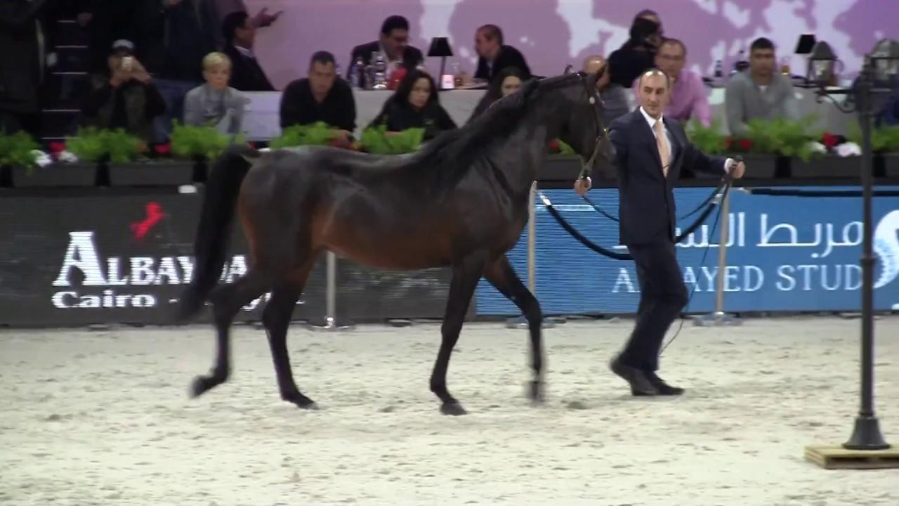 cheval arabe 2016