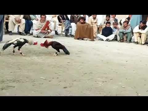 aseel-murga-fight-in-pakistan-must-watch-full-hd-.butt-smart-boy