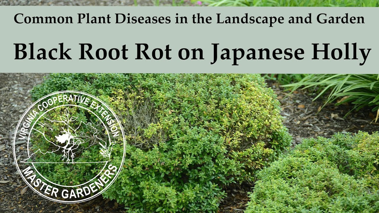 Black Root On Japanese Holly Common Plant Diseases In The