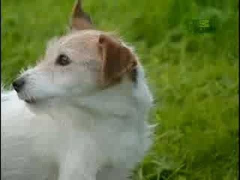 Breed All About It - Jack Russell Terrier
