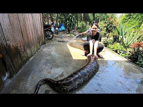 Giờ Thư Giãn Của Chú Trăn Khổng Lồ Nhất Miền Tây | Giant Python
