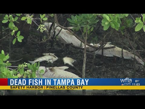 Dead fish causing foul smell along North Tampa Bay