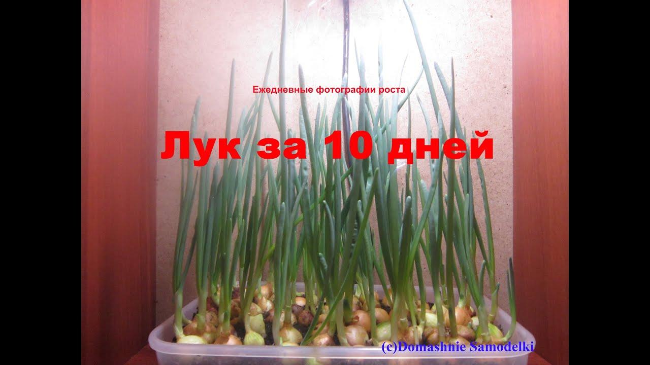 Как вырастить лук дома 2 пошаговые инструкции с фото 66
