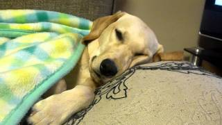 2011/12/11。今日は、馴致の特訓もあってお疲れの盲導犬候補生アンジー...