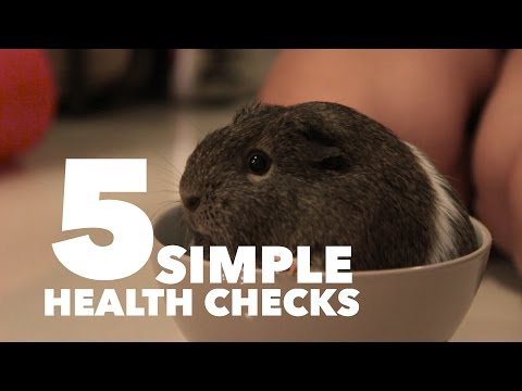 5 Simple Health Checks for Your Guinea Pig | MediCavy Monday