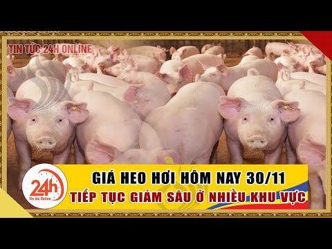 Giá heo hơi ngày hôm nay 30/11/2020 Giá heo hơi biến động trái chiều ? cập nhật giá lợn hơi mới nhất