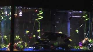 Community Aquarium 2 With Glo-fish, Neon, Minor Tetra And Dalmatian, Platy, Taxido Guppie
