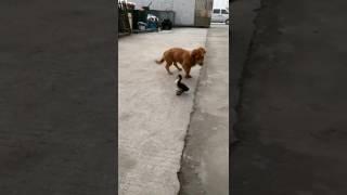 Утка укусила щенка за писюн