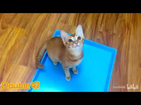 Cat Sing Believer by Imagine Dragons   Remix Cat Singing