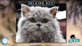 Selkirk Rex  EVERYTHING CATS