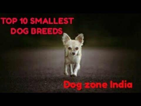 Top 10 smallest dog breeds | Dog zone India |