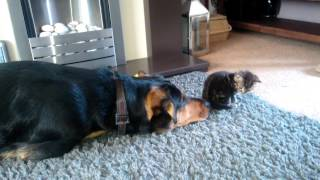 Dog and Kitten meeting on day two -Gloucester UK.