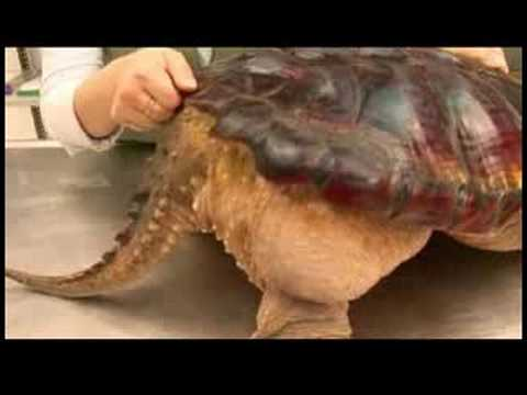 Snapping Turtle Facts - All Turtles