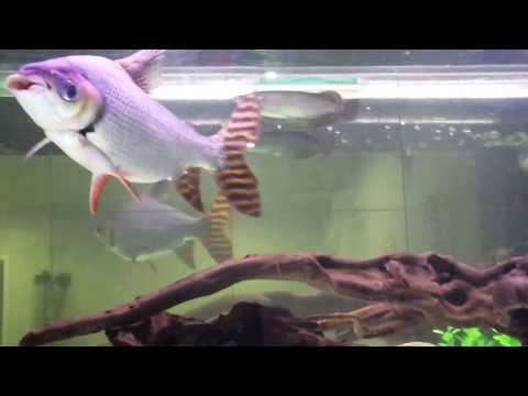 Australia largest flagtail fish with baby Arowana Saratoga Jardni (2 years on no.3)