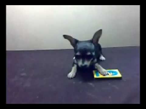 Cute Applehead Teacup Chihuahua Female Youtube