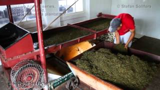 Chá Gorreana tea plantation - Amazing Azores series