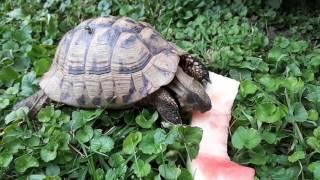 Turtle eat Watermelon