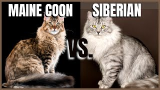 Maine Coon Cat VS. Siberian Cat