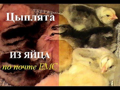 Инкубационное яйцо почтой . Результаты по выводу цыплят.