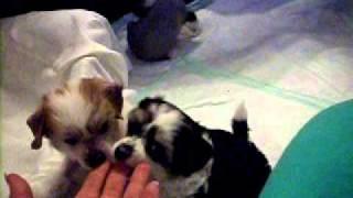Собаки-кусаки 45 дней
