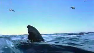 Great white shark goes hunting for seals - ocean animals - BBC wildlife