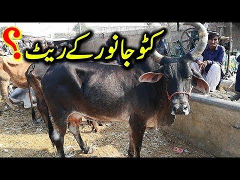 Kattu Janwar    Malir Cow Mandi Latest Update    Cow Mandi Karachi 2019